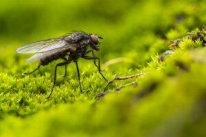 aaltjes tegen rouwvliegjes